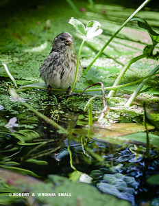 BRIEF QUIET MOMENT FOR THIS FINCH IN OUR LITTLE POND