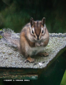 ANOTHER TOWNSEND'S CHIPMUNK VISITOR TO OUR GARDEN!  THIS IS RARE FOR US . . .