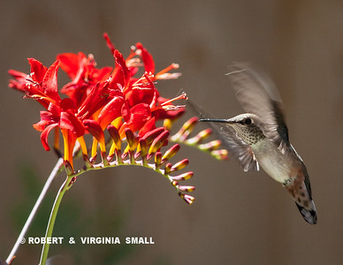 A RUFOUS HUMMINGBIRD foraging at one of our Crocosmia blossoms