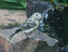 NO DEFINITE ID YET ON THIS MYSTERY FLYCATCHER AT THE BUBBLER IN OUR POND . . .