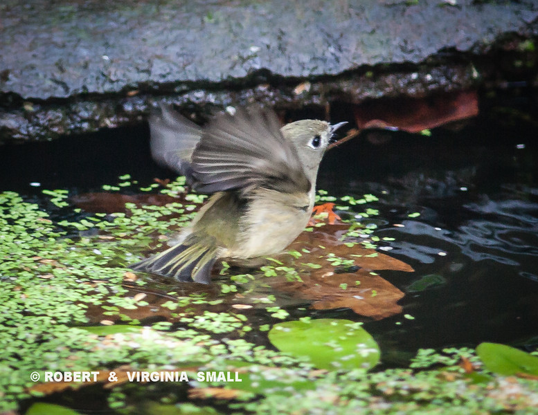 OOOOOOHHH, BOY, IS THAT COLD WATER!!   VERY QUICK DIP BY A BRAVE LITTLE RUBY-CROWNED WARBLER IN OUR POND THIS MORNING.
