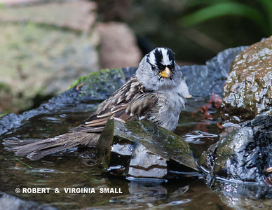 A CHILLY SPRING DIP FOR A WHITE-CROWNED SPARROW IN OUR NATURAL BASALT BIRD BATH BY THE POND