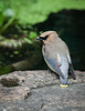 Cedar Waxwing pauses for a quiet moment by the pond