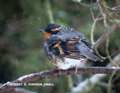 SEVERAL VARIED THRUSHES ARE SPENDING TIME IN OUR GARDEN DURING THIS SNOWSTORM  TAKING ADVANTAGE OF THE HEATED BIRD BATH FOR WATER AND CHOWING DOWN ON SUET AND SEEDS