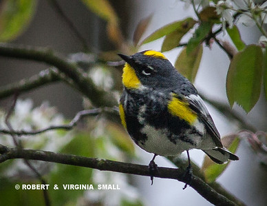 BRIGHT MALE YELLOW-RUMPED WARBLER IN OUR SERVICEBERRY TREE