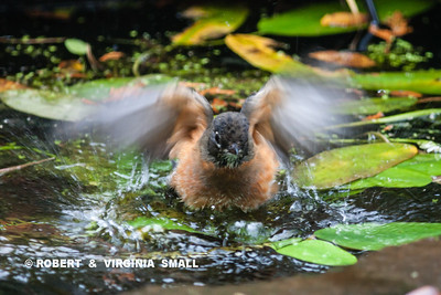 AMERICAN ROBIN TAKING A BATH BREAK IN ITS MIGRATION TRIP