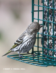 PINE SISKIN AT SUET