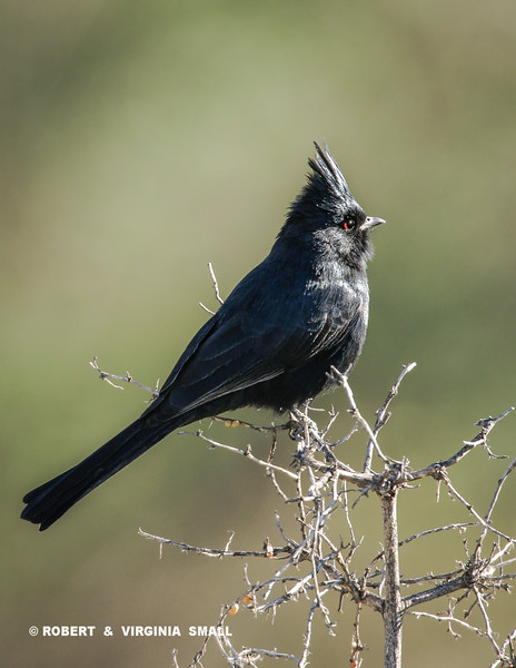 STATELY AND SHY PHAINOPEPLA WITH IT'S PIERCING RED EYE POSES FOR HIS PORTRAIT