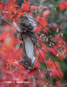 AUTUMN AND TIME FOR AN ACROBATIC GREY SQUIRREL TO MUNCH ON THE MAPLE SEEDS