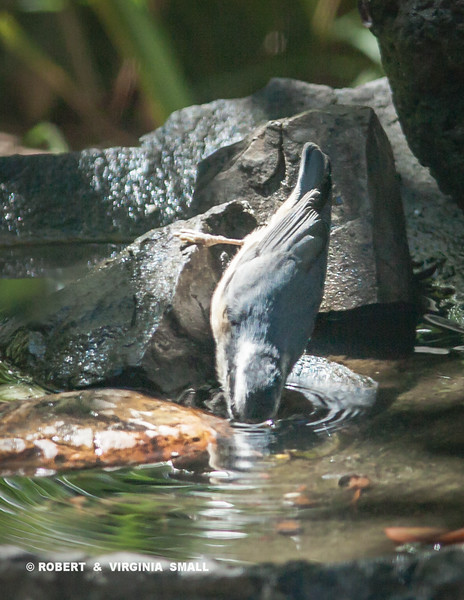 ACROBATIC RED-BREASTED NUTHATCH SIPPING A COOL DRINK IN OUR BASALT BIRD BATH - HANG IN THERE, BABE!