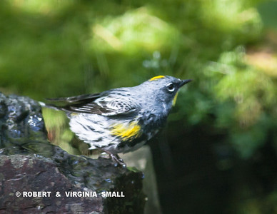 YELLOW-RUMPED WARBLER AT BUBBLER OF OUR POND