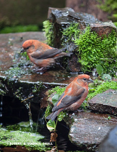 AREN'T CROSSBILLS BEAUTIFUL??!