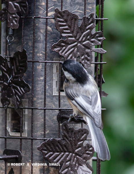 BLACK-CAPPED CHICKADEE WITH SOME SIGNS OF LEUCISM ON THE WINGS AND BACK FEATHERS