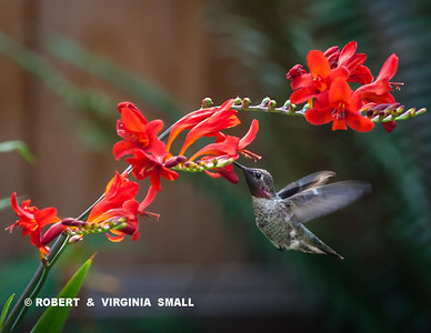 CAN YOU TELL WE'RE ENJOYING THE HUMMINGBIRDS' ATTENTION TO THE NEW CROCOSMIAS IN OUR GARDEN?!