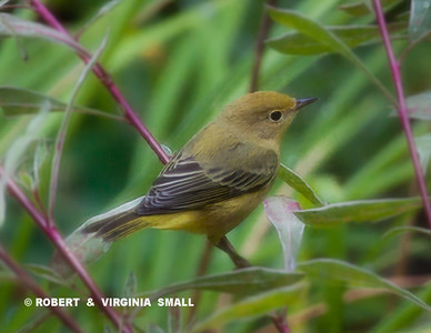 . . . AND THIS PRETTY LITTLE YELLOW WARBLER, TOO