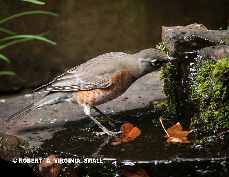 A SIP OF COOL WATER FOR A ROBIN