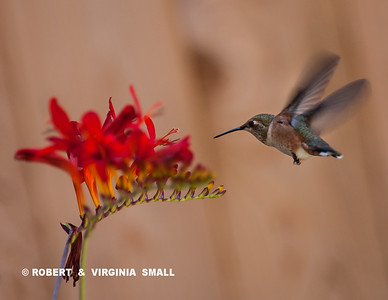 A RUFOUS HUMMINGBIRD at a Crocosmia blossom in our garden