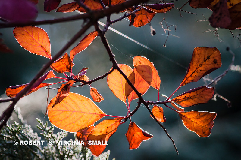 SMOKE TREE COLOR IN AUTUMN