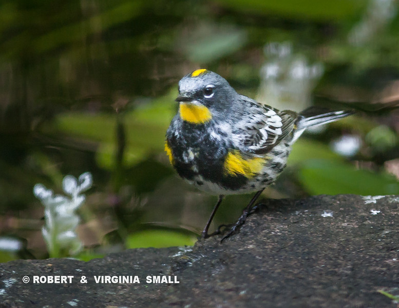 ANOTHER SPRING VISITOR, YELLOW-RUMPED WARBLER