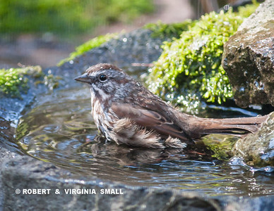 SONG SPARROW BATHING BEAUTY IN OUR STONE BIRD BATH