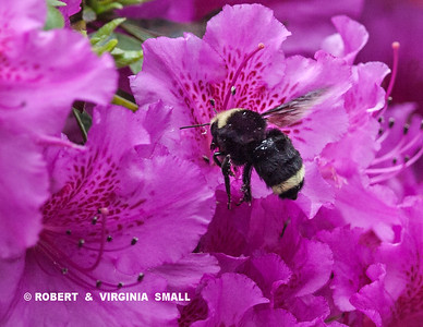 BUMBLE BEE TAKING NECTAR FROM AZALEA IN OUR GARDEN