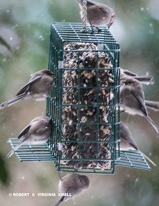 A FLURRY OF BUSHTITS
