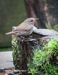 AN THE FINAL PACIFIC WREN IMAGE FROM THAT RECENT VISIT . . .