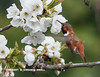 CHERRY BLOSSOMS ATTRACT A RUFOUS HUMMINGBIRD