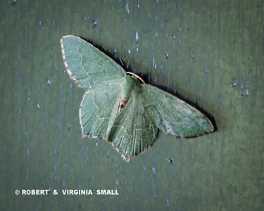 LOOKS LIKE A COMMON EMERALD MOTH - WHAT DO YOU THINK?