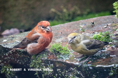A MALE AND FEMALE RED CROSSBILL AT OUR POND IN THE BACK GARDEN