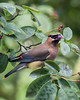 A HANDSOME CEDAR WAXWING IMAGE THAT ROBERT CAPTURED THIS MORNING IN THE SERVICEBERRY TREE IN OUR BACK GARDEN