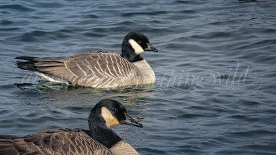 Cackling Goose and Canada Goose