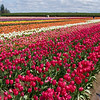 Wooden Shoe Tulip Farm <br /> Woodburn, Oregon