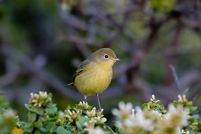 Yellow Warbler, Mendocino