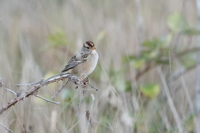 Chipping Sparrow, Mendocino