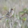 Chipping Sparrow, Mendocino