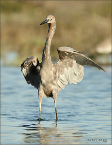 Juvenile one year Reddish Egret