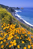 coast hiway poppies