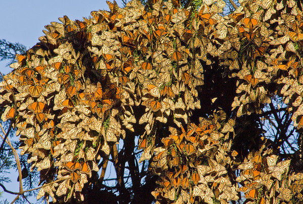 Monarch Butterfly Wimter Migration,  Pismo Beach, California