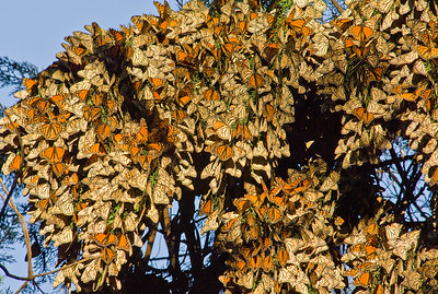Monarch Butterfly Winter Migration,  Pismo Beach, California