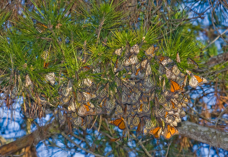 Butterflies awaken when the sun hits them.  The cluster is for protection and warmth.