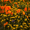 California Poppies - Near Antelope Valley Poppy Reserve, Antelope Valley, CA