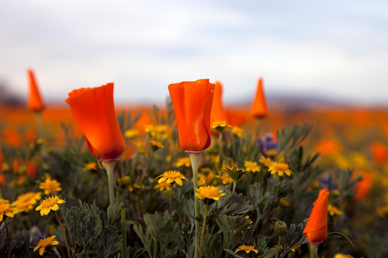 California Poppies - Near Antelope Valley Poppy Reserve, Antelope Valley, CA
