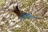 17 COOL BLUE BIRD