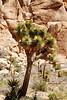 3 CLOSE-UP OF JOSHUA TREE