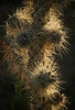Yes, they're just as sharp as they look!  A Silver Cholla cactus backlit by sunrise at Joshua Tree.<br /> Photo © Cindy Clark