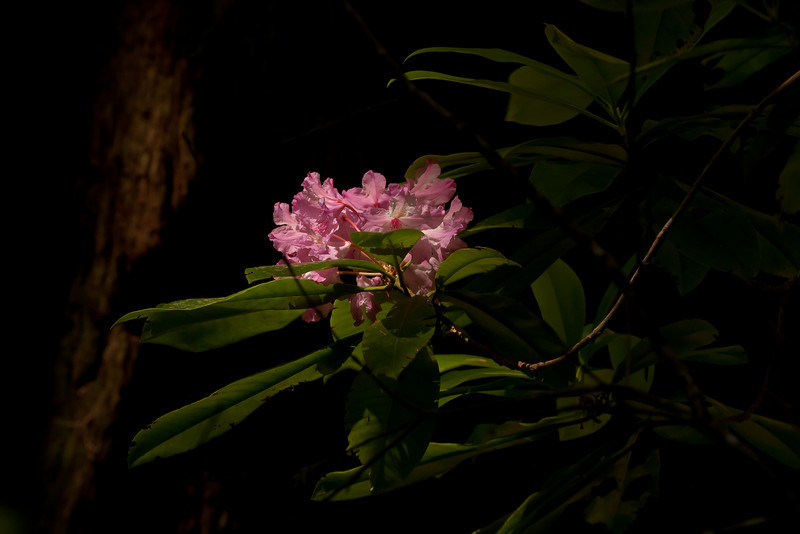 We made a special trip to see rhododendrons blooming among the redwoods.<br /> Photo © Cindy Clark