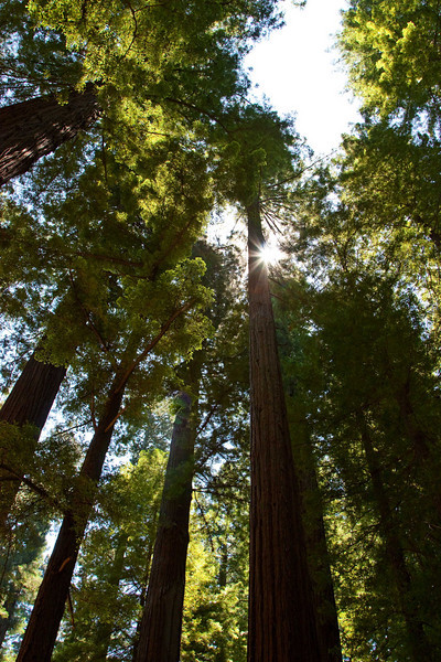 Sun peeks through the canopy of coast redwoods in the Avenue of the Giants.<br /> Photo © Carl Clark