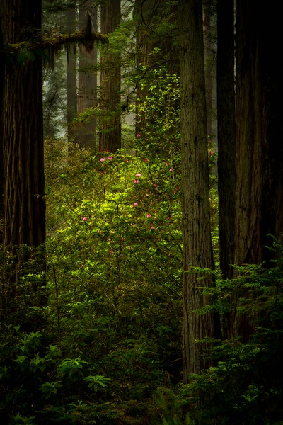 Stalking the wild rhododendron in the California redwoods.<br /> Photo © Cindy Clark