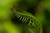 A tiny spider works on a web anchored to a fern in the Prairie Creek Redwoods in Northern California.<br /> Photo © Carl Clark